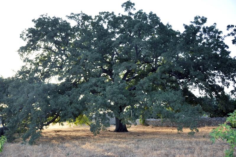 La Quercia Vallonea: bellezza secolare